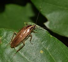 jak vypadá šváb 5