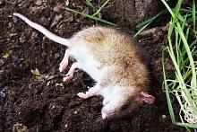 deratizace myší 2