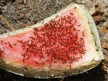Hubení mravenců 1