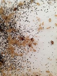hmyz štěnice deratizace