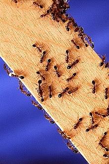 jak se zbavit mravenců 1