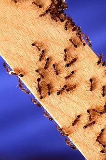 Likvidace mravenců