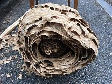 likvidace sršních hnízd 5