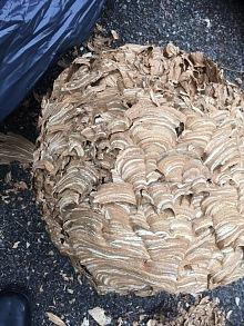 likvidace sršních hnízd 6