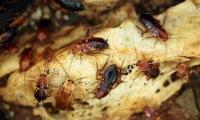 dezinsekce švábi 2